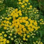 Herbs, Tansy