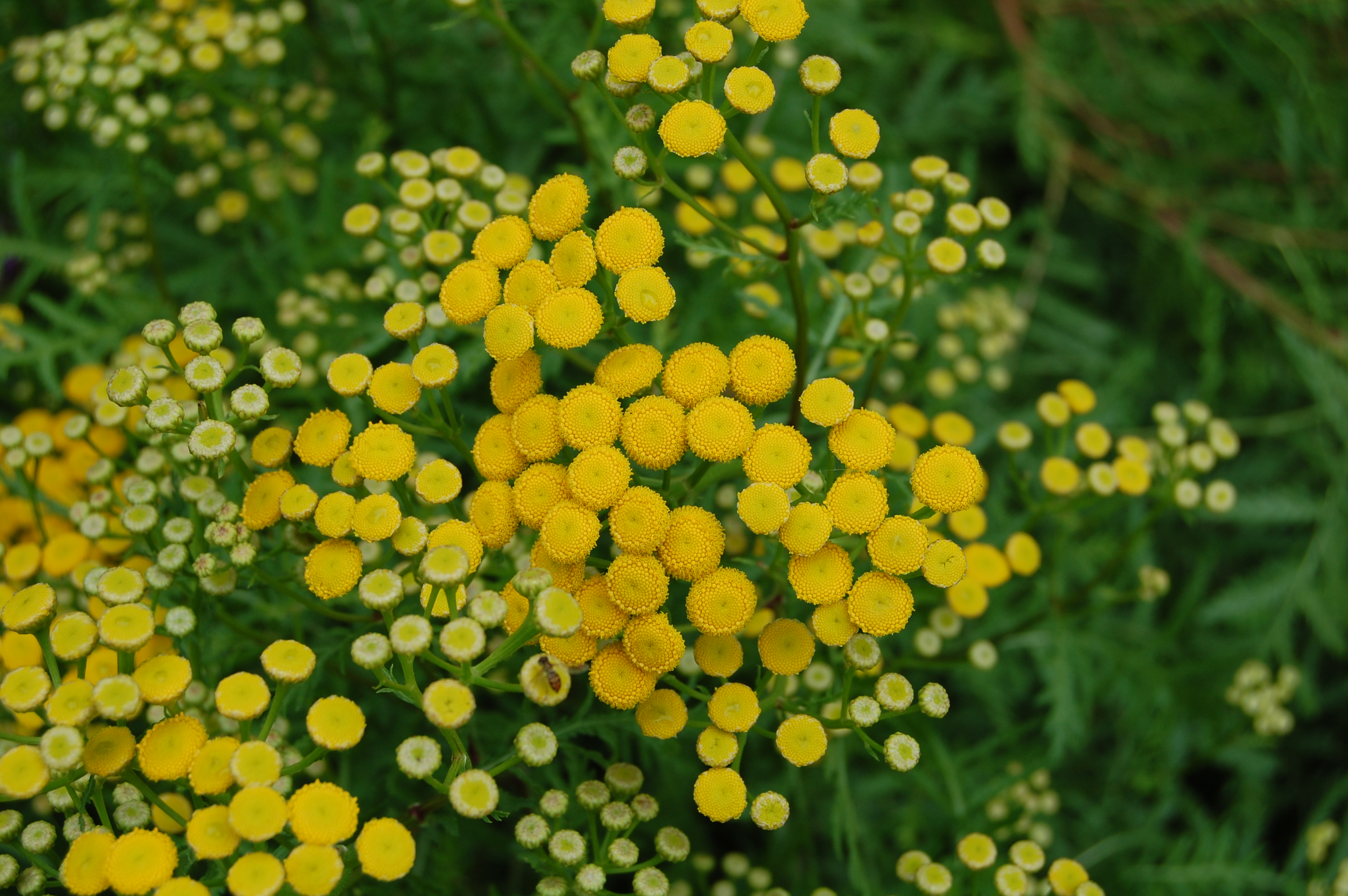 Deer Resistant Herbs Advice From The Herb Lady