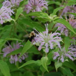 Herbs, Bee Balm