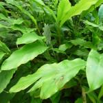 Herbs, Cardamom