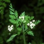 Herbs, Chervil