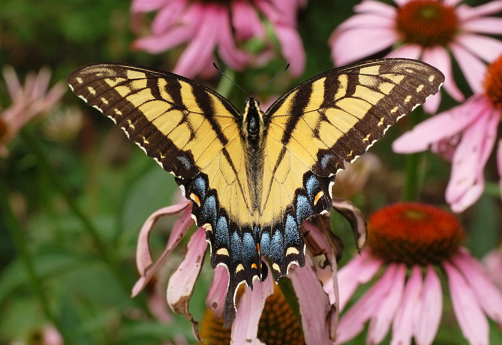 Eastern Toger Swallowtail
