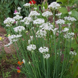 Herbs, Garlic Chives