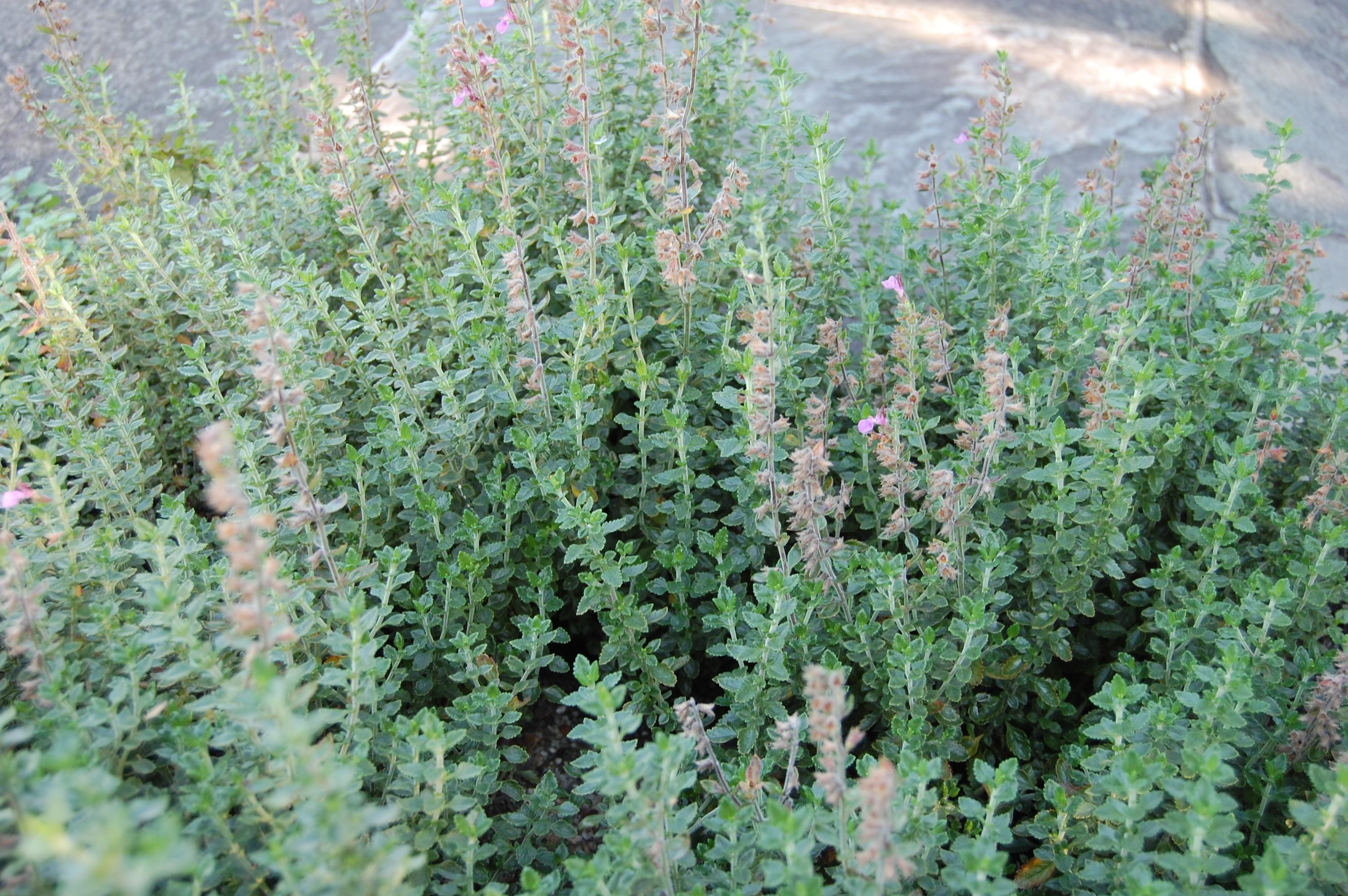 herbs, germander