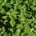 herbs, lemon balm