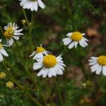 Herbs, Chamomile