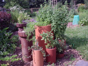 containers, herbs, mints, prostrate rosemary