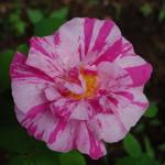 Roses, Rosa mundi