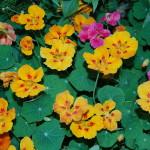Herbs, Nasturtiums