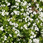 Herbs, Sweet Woodruff