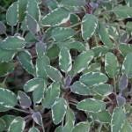 Tri Color Sage, herbs, sage