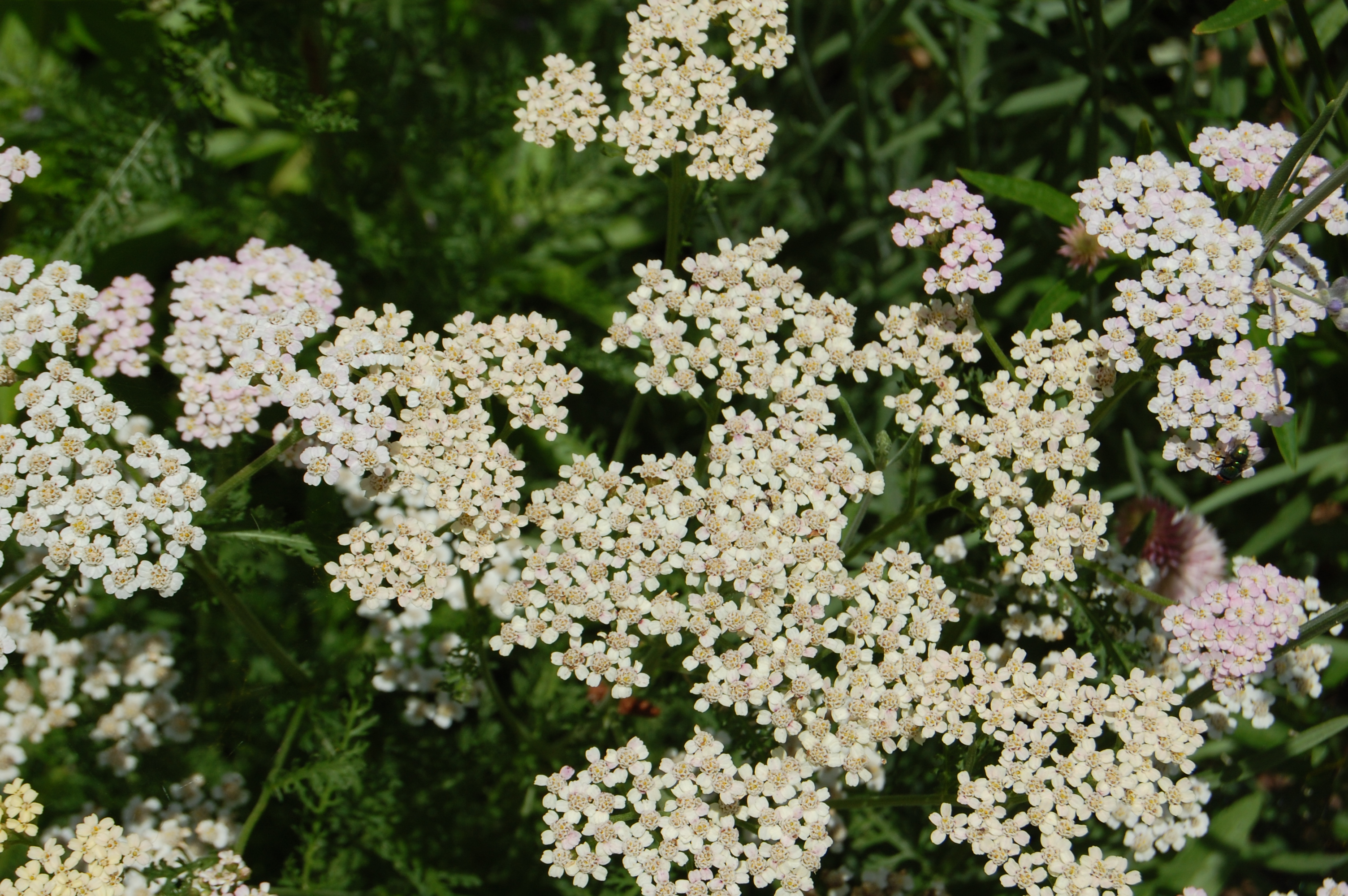 Herbs, Yarrow