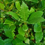 bay laurel, herbs