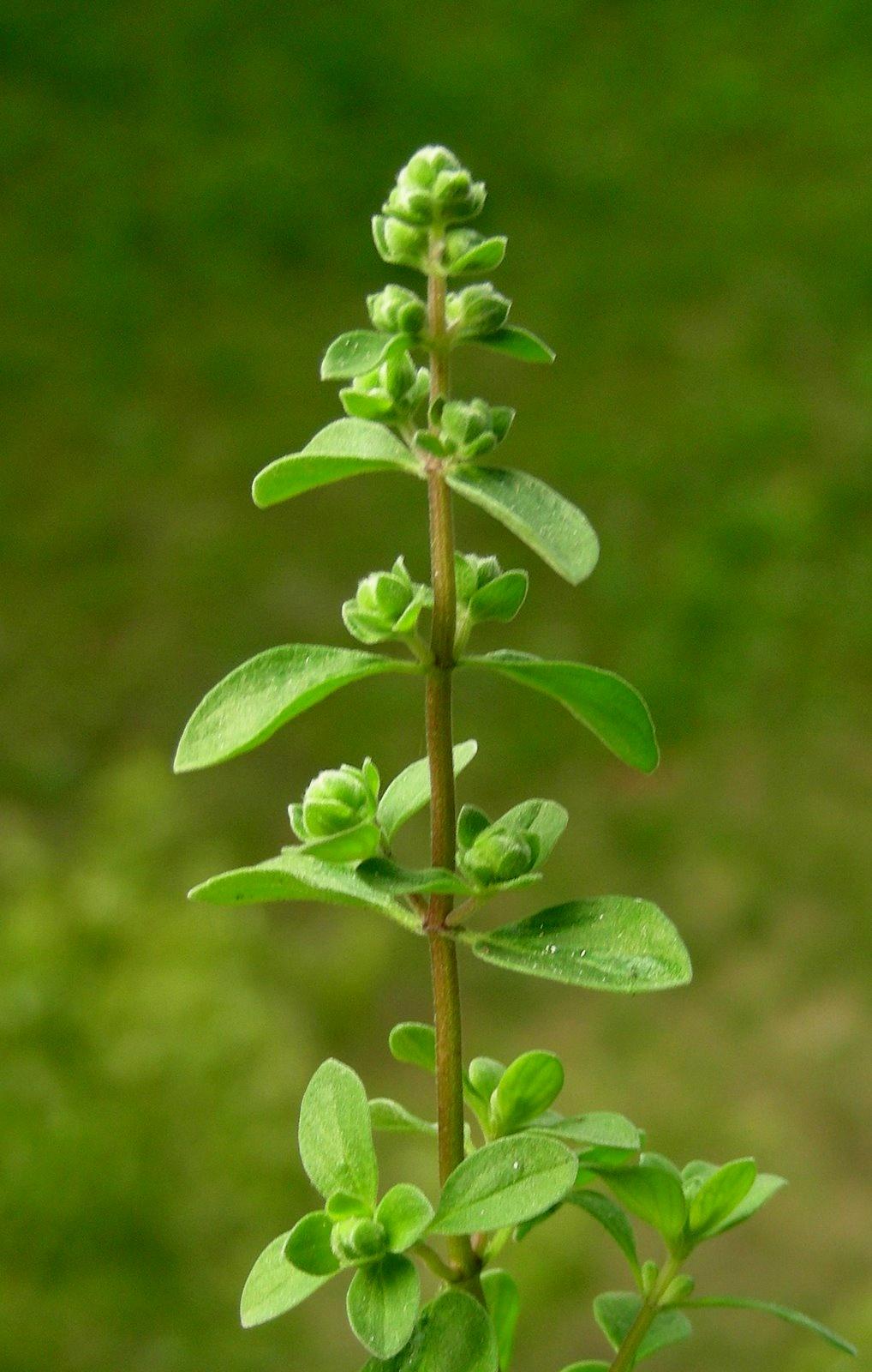 marjoram, herbs