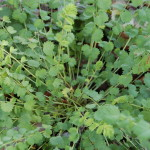 Herbs, Salad Burnet