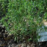 Herbs, Summer Savory