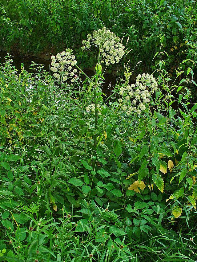 Herbs, Angelica