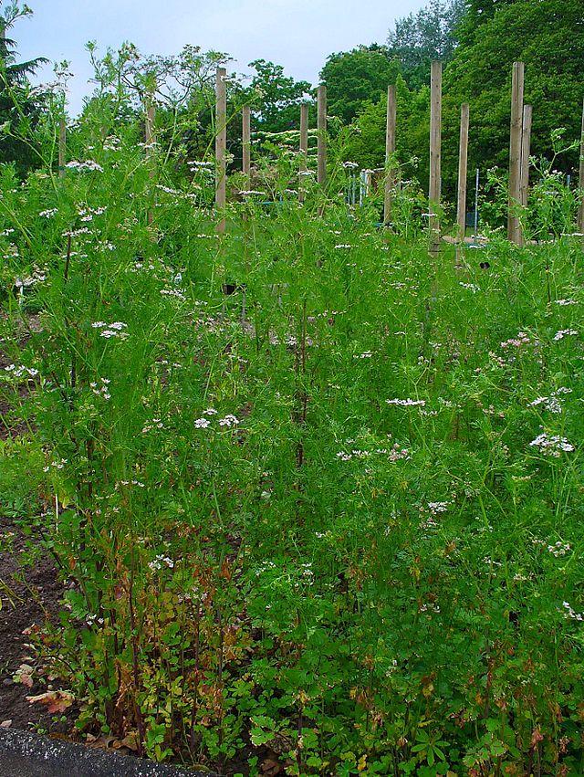 Herbs, Cilantro, Coriander
