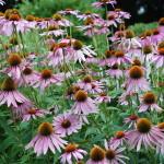 Herbs, Echinacea