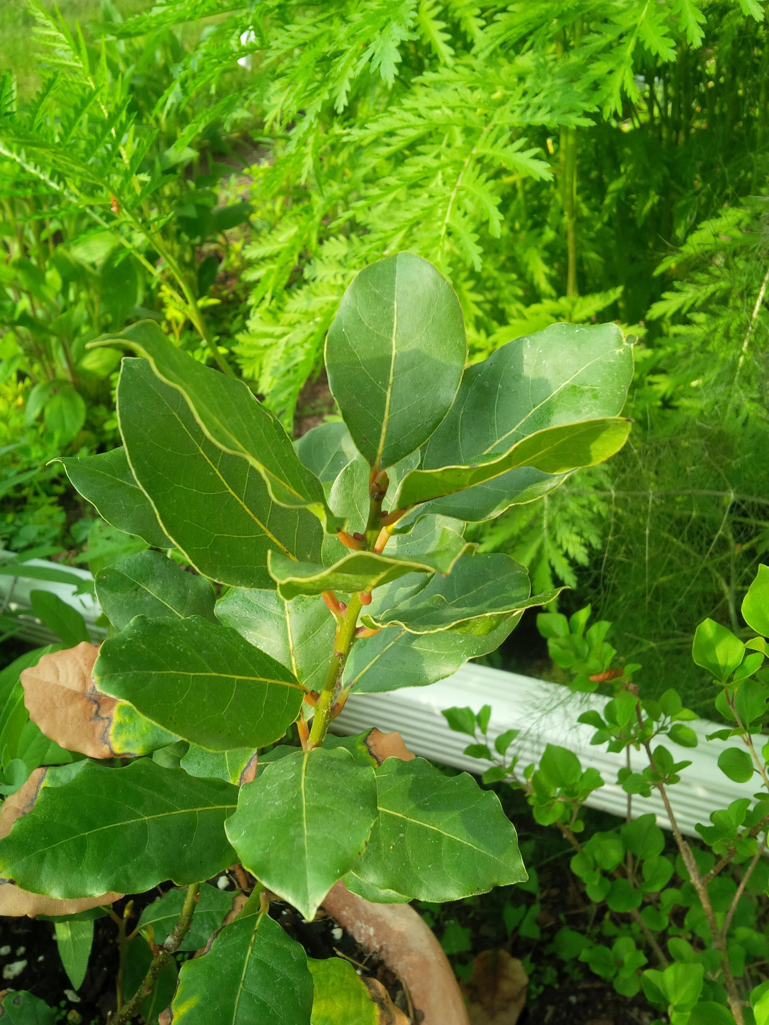 Herbs, Azores Laurel