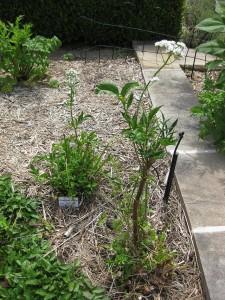 Herbs, anise