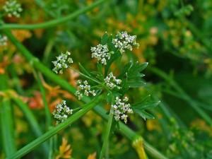 Herbs, parsley