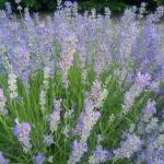 Herbs, Lavender