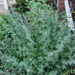 Herbs, Catmint