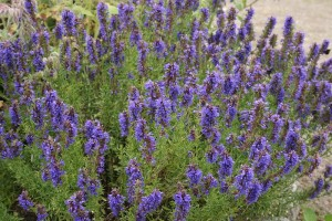 Herbs, Hyssop
