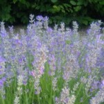 Herbs, Lavender, Grosso Lavender