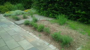 The new rosemary plants, pruned and planted.