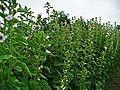 Herbs, Marshmallow