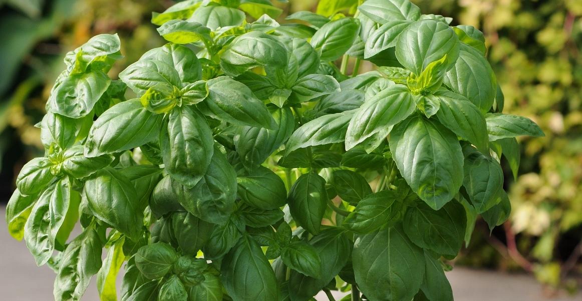Herbs, Basil, Dolce Fresca