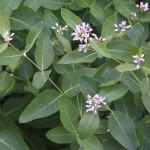 Herbs, Dogbane