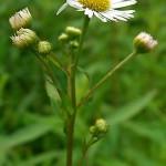 Herbs, Fleabane
