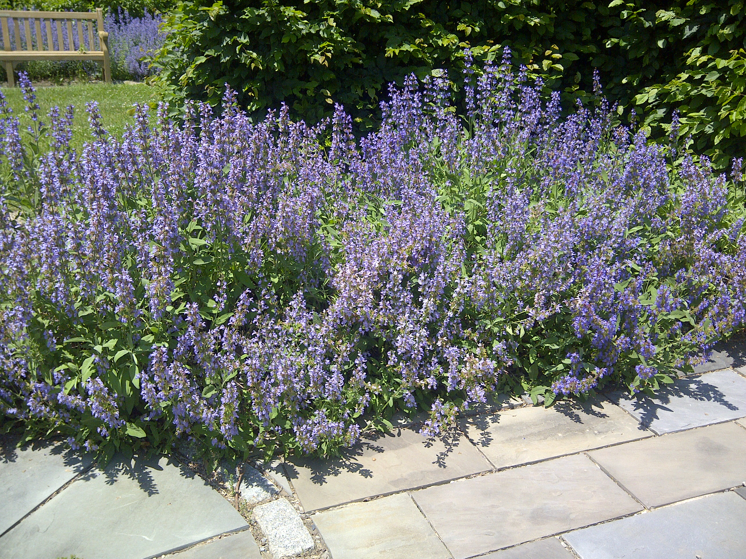 Pruning the Sage Hedge - Advice From The Herb Lady