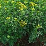 Herbs, Rue, Witchbane
