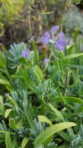 Herbs, Grosso Lavender