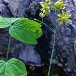 Herbs, Blue Cohosh