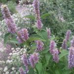 Herbs, Anise Hyssop