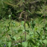 Herbs, Stinging Nettle