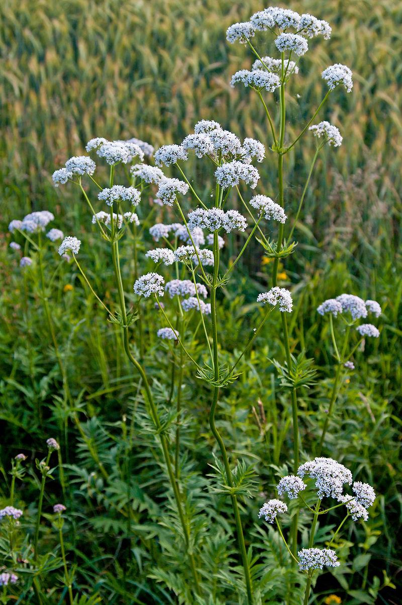 Herbs, Valerian
