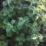 Herbs, Za'atar Marjoram