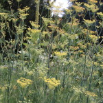 Herbs Fennel