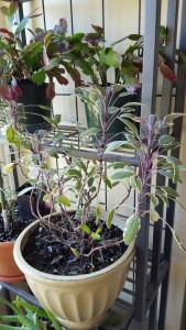 Tricolor Sage Indoors