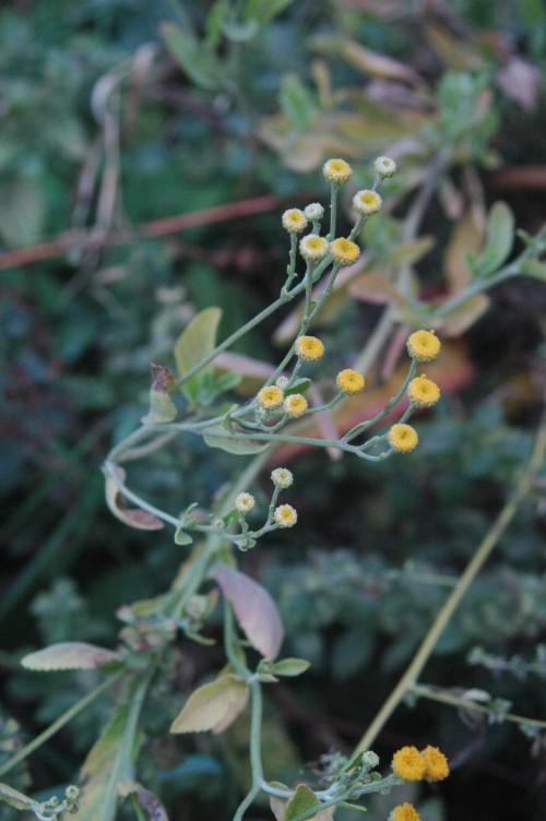 Herbs, Costmary