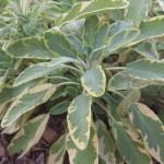 Golden Sage1
