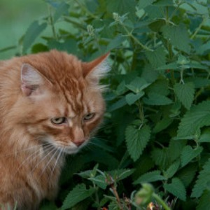 Herbs for a Cat Garden