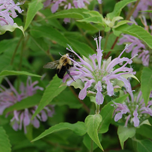 Attracting Beneficial Insects with Herbs