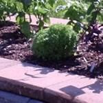 Herbs, Spicy Globe Basil, Basil